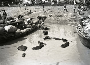 [Water Buffalo in River]