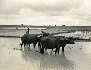 [Farmers and Water Buffalo Plowing a Rice Field]