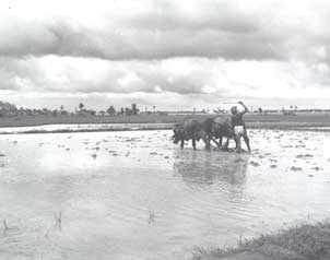 [Rice farming near air base]